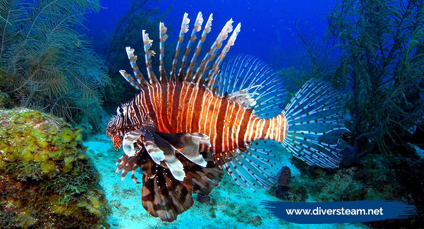 🐟 ¿Puedo ver el pez león en San Andrés islas al salir a bucear?
